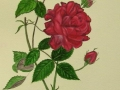 Rose-Watercolor-opt-1