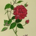 A rose flower in watercolor